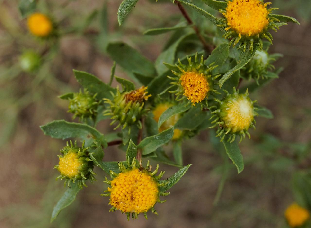 FlowersSucculentBlossom