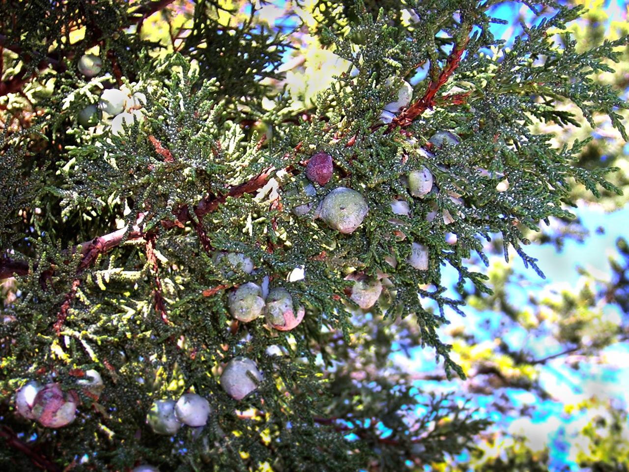 Juniper Berries 2