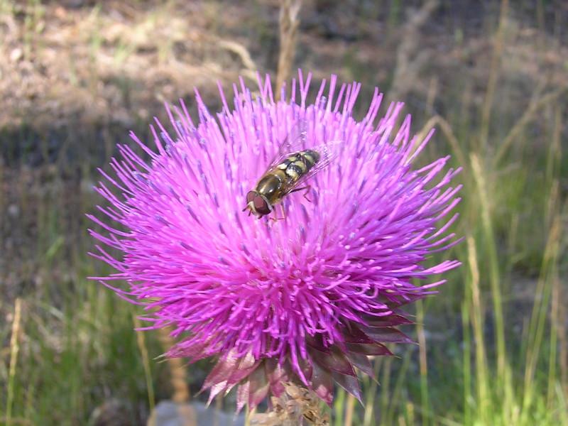 CF-Thistle-Bee-3