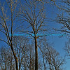 "Leafless trees in winter framed against a bright blue sky.<br /> <br /> bluemoon1236; smugmug; <a href=""http://bluemoon1236.smugmug.com"">http://bluemoon1236.smugmug.com</a> ,Bluemoon Fine Photography"