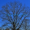 "Leafless tree in winter framed against a bright blue sky.<br /> <br /> bluemoon1236; smugmug; <a href=""http://bluemoon1236.smugmug.com"">http://bluemoon1236.smugmug.com</a> ,Bluemoon Fine Photography"