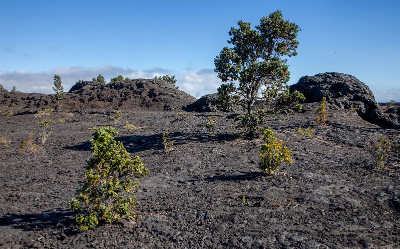 Ohia taking over new lava, Hawaii (Jan 2017)