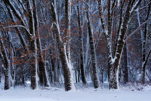 Fresh snow coats trees in Yosemite, California