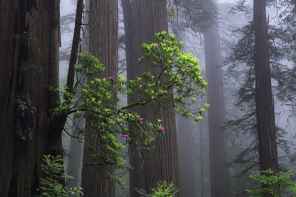 Flowers in the fog - Redwoods, California