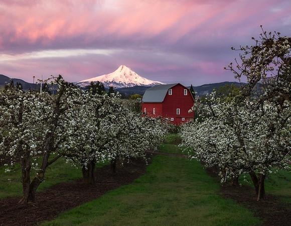 Mt Hood rising behind an Oregon orchard