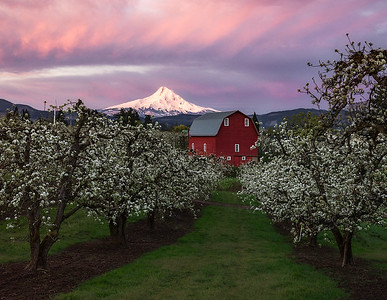 Mt Hood rising behind an Oregon orchard