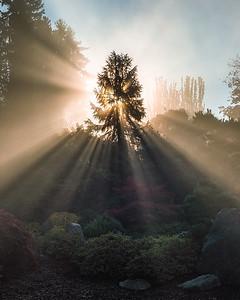 Sunlight beaming through a tree - Washington