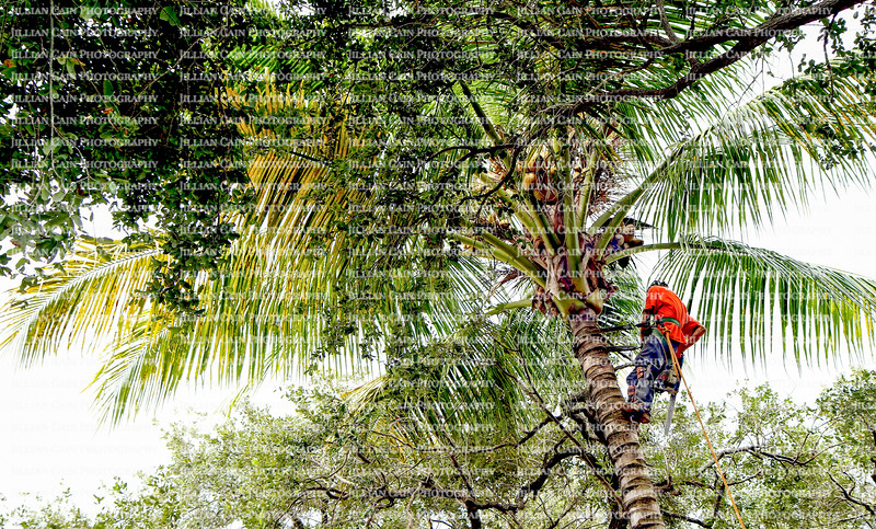 Tree trimmer on a palm tree