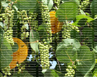 Tropical sea grapes clusters