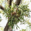 Giant staghorn fern growing in the wild on a live oak tree.  Staghorns are propagated by spores that reside under the tips of their leaves.