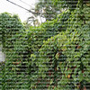 Air potato vines engulfing a backyards by killing and smothering other plants.  Air potato is a vigorously twining herbaceous vine.