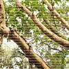 Peeling Guava tree bark