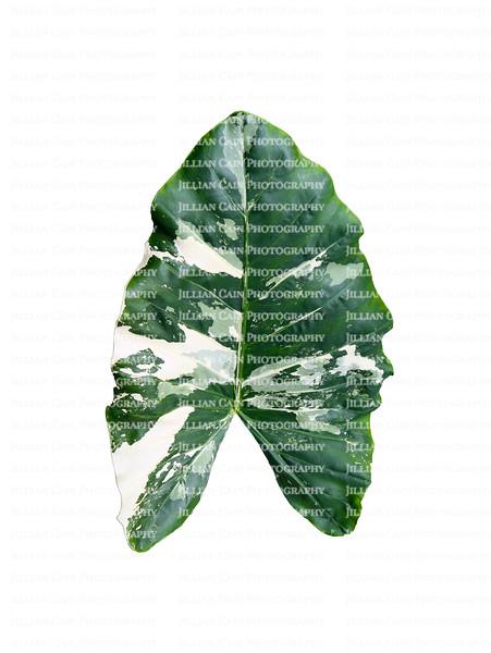 Large variegated elephant ear leaf