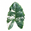 Large variegated elephant ear leaf