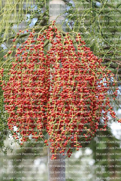 Ripe red and green palm tree berries