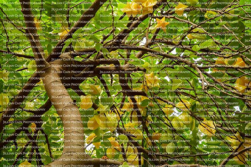 Looking up at an abundant bearing star fruit tree