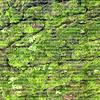 Green moss growing on a 100 year old oak tree bark