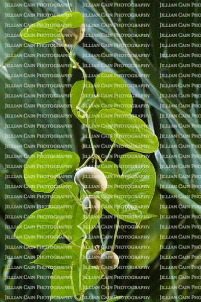 Air potato plant