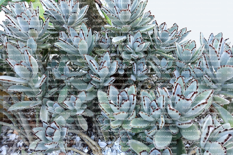 Large grouping of Panda succulents, named after the panda bear, as its leaves' resemble a panda's fur, this succulent's leaves are covered with tiny hairs that give it a furry look.