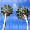 Looking up at two beautiful cabbage palm trees