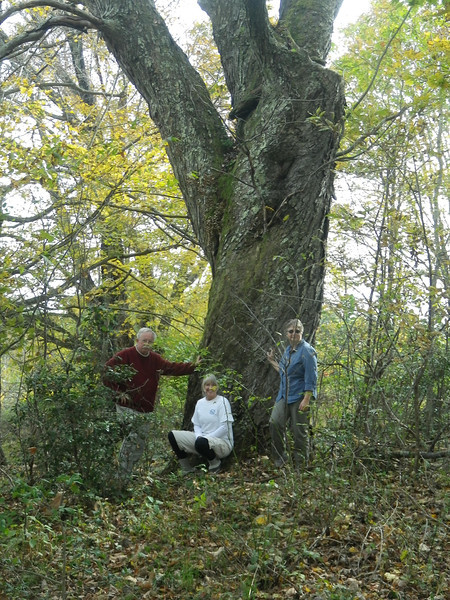 Tree is off of Panther Mountain Road (CR 22) in Nicholas County, WV. Tree was a state champion for several years.<br /> Pictured are Turner Sharp, Bridget Tincher, Kathleen Simpson. 15.1' x 71.8' x 73'<br /> Photo by Susan Sharp 10/10/11