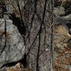 Bark on maturing Arizona Alder<br /> Oak Creek Canyon, near Sedona. Coconino County, AZ<br /> Photo by Turner Sharp 2/18/2012