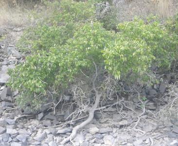 Celtis laevigata var. reticulata