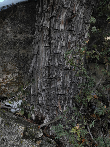 Characteristic bark - Alligator Juniper<br /> Walnut Canyon National Monument, near Flagstaff, Coconino County, AZ<br /> 3.9' x 23.8'<br /> Photo by Turner Sharp 2/16/2012