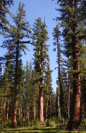 https://photos.smugmug.com/Trees/Larix-occidentalis/i-PVWmfCx/0/20cd1cc0/M/DSCN3997-M.jpg