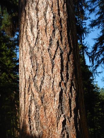 https://photos.smugmug.com/Trees/Larix-occidentalis/i-WP7snMf/0/66953455/M/DSCN3996-M.jpg