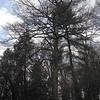 Parkersburg, Wood County, WV<br /> 10.5' x 100.3' x 74' (max. cs)<br /> Pinus strobus to right, 7.0' x 84.1' x 39' (max. cs)<br /> Photo by Turner Sharp 1/29/2013