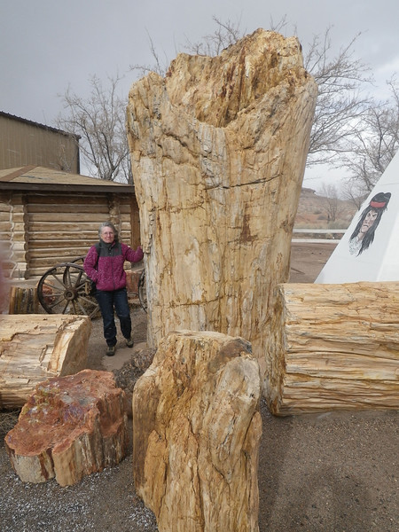 """Upside down tree trunk at rock shop along I-?? near ?? in ???<br /> CBH from ground level is 202.9""""<br /> Picture by Turner Sharp 2/2013"""