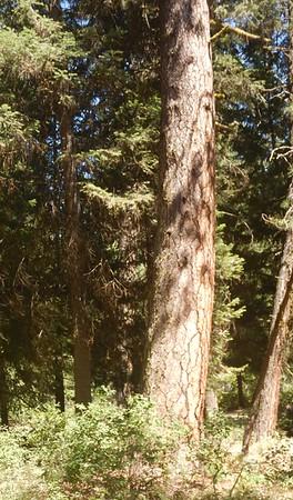 https://photos.smugmug.com/Trees/Pinus-ponderosa/i-kXXXcdX/0/002e55c6/M/DSCN3971-M.jpg