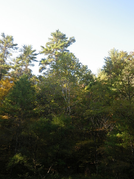 White Pine stand along FS 96, near Neola, Greenbrier County, WV. <br /> Photo by Turner Sharp, 10/7/11