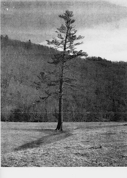 15.8' x 135.6' x 50.25' (average crown spread)<br /> Near Cherry Grove, Pendleton County, WV<br /> Photo by Jim Bowen 2010<br /> Tree fell 2011?