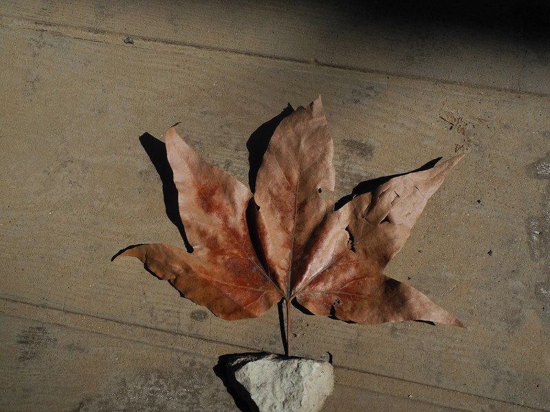 Leaf of Arizona Sycamore<br /> <br /> <br /> <br /> <br />  Leaf of Arizona Sycamore