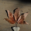 Leaf of Arizona Sycamore<br /> <br /> <br /> <br /> <br />  Leaf of Arizona Sycamore