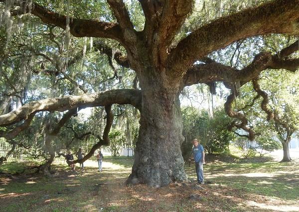 https://photos.smugmug.com/Trees/Quercus-virginiana/i-Frc8PJz/0/4482fa59/M/DSCN7734-M.jpg