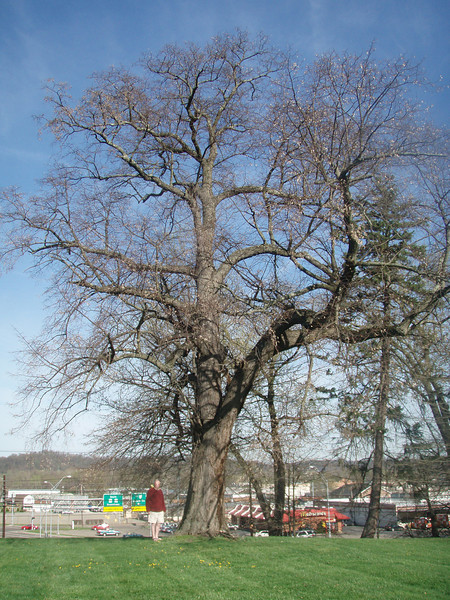 Tree located at 925 24th Street, Parkersburg, Wood County, WV<br /> Turner Sharp<br /> Photo by Susan Sharp<br /> 12.8' x 58.0'