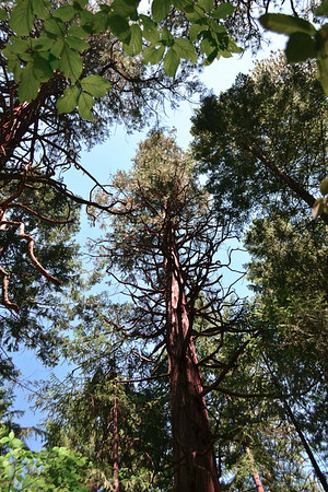 Redwood in the sky