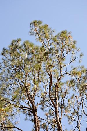 Del Valle Bristle Cone Pine