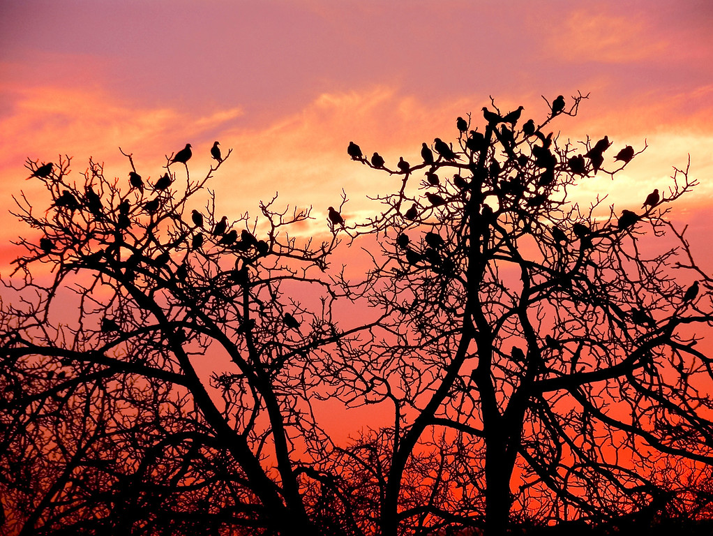 (58) Doves and Sunset, Livermore, CA