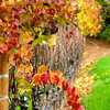 Grape vines in fall