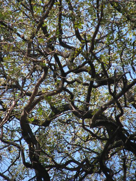 BA trees 1 jpg