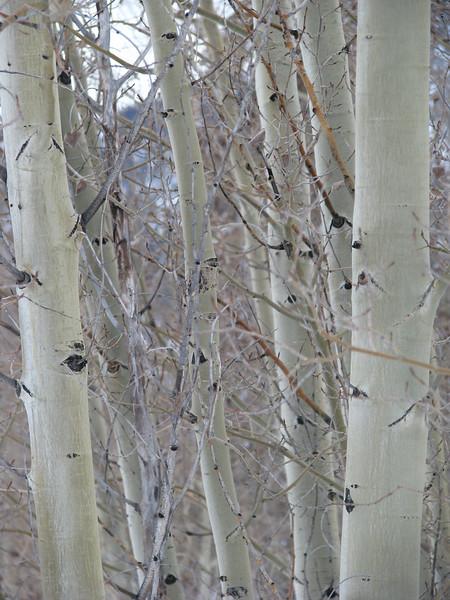 Aspens in winter 1 jpg