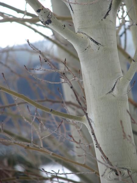 Aspens in winter 2 jpg