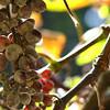 Grapes closeup