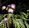 Persian Silk Tree - Albizia julibrissin