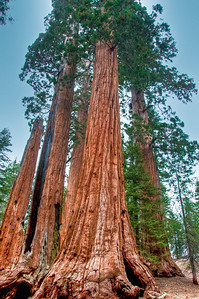 sequoia-trees-6