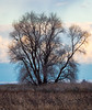 Bare Winter Cottonwood and Dusky Sky